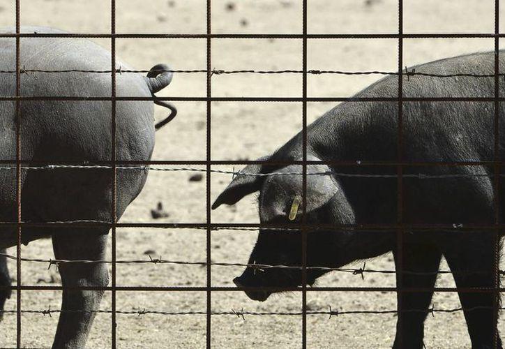 Órganos internos formados en cerdos podrían servir a quienes esperan por algún donante. En la foto, cerdos ibéricos. (EFE)