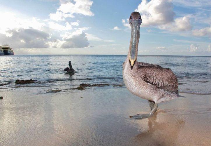 El Consejo Consultivo para el Desarrollo Sustentable busca que la isla de Cozumel sea integrada al Corredor Biológico Mesoamericano, por la biodiversidad con la que cuenta. (Gustavo Villegas/SIPSE)