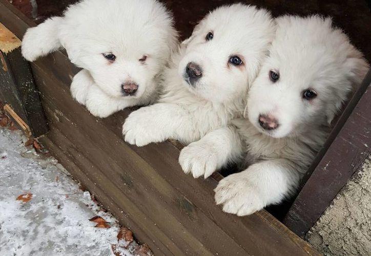 Imagen de los cachorros que fueron encontrados entre los restos del hotel Rigopiano, el cual quedó sepultado por una avalancha de nieve. (Marisa Basilavecchia vía AP)