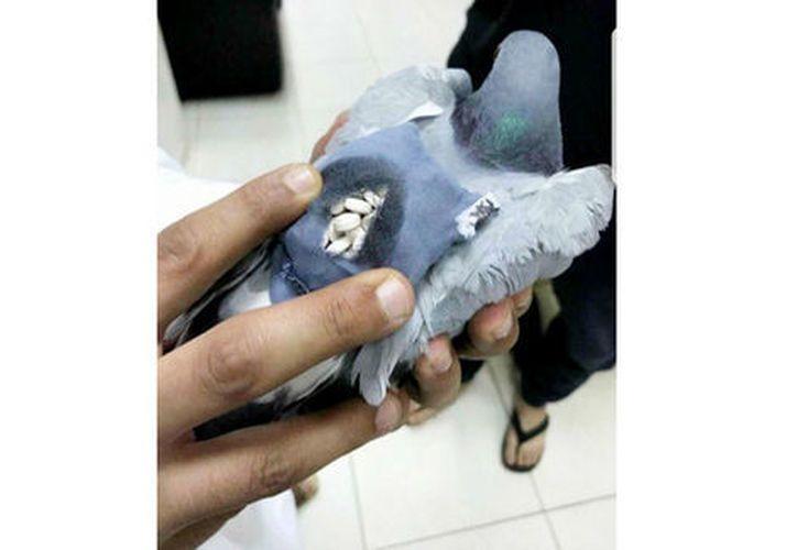 La Policía de Kuwait descubrió que la paloma tenía una pequeña mochila llena de pastillas. (Twitter)