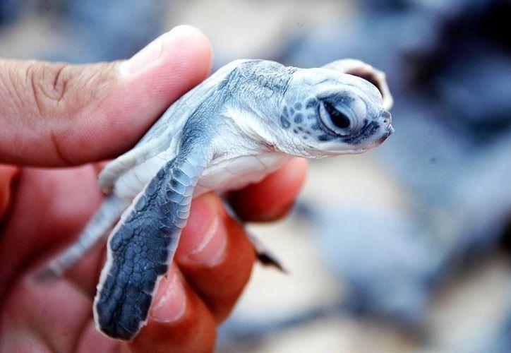 Las especies de tortugas marinas: verde y caguama, son las que escogen Cozumel para anidar. (Contexto/Internet)