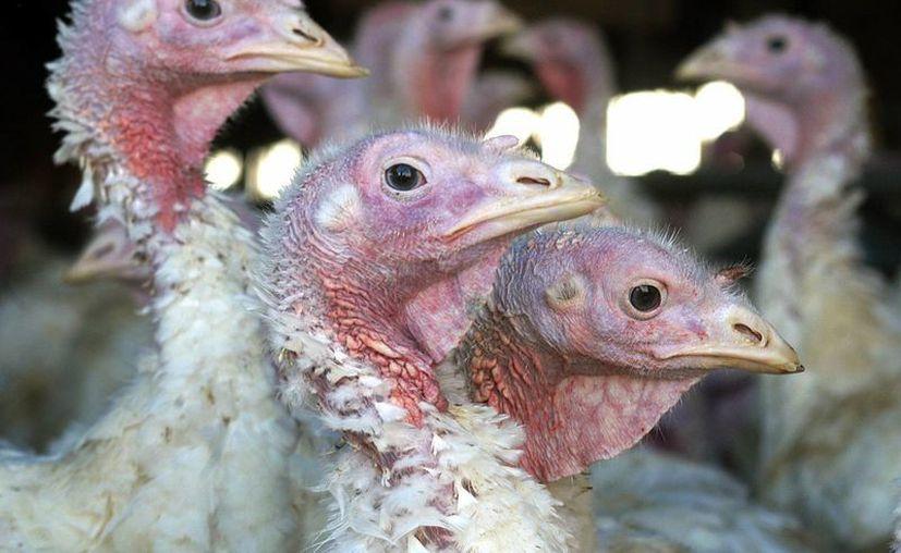 Canadá informó que casi 45 mil pavps en su territorio están infectados con el virus H5N2. (Archivo/AP)