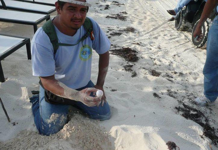 Las luces e instalaciones de los hoteles, así como la presencia de personas ahuyenta  a las tortugas marinas que llegan a anidar a las costas de Q. Roo. (Octavio Martínez/SIPSE)