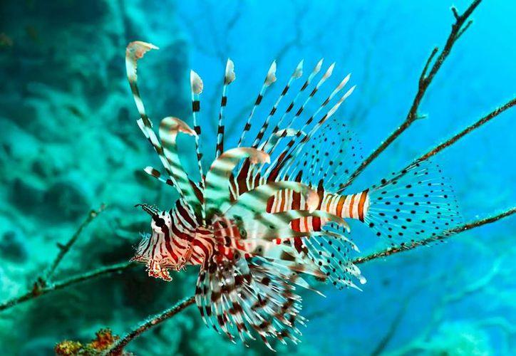 Con este evento se pretende revertir los efectos negativos que la especie a provocado en el mar Caribe. (Foto de Contexto/Internet)