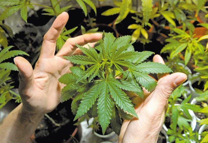 En México 5.7 millones de personas consumen marihuana, de las que 550 mil son adictas. (Milenio)