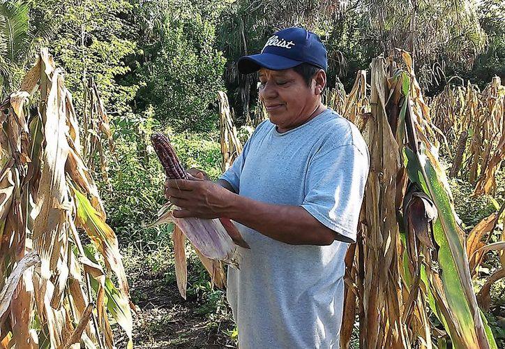 Los productores esperan cosechar 45 mil semillas por cada dos hectáreas, lo que permitirá comercializar el maíz. (Javier Ortiz/SIPSE)