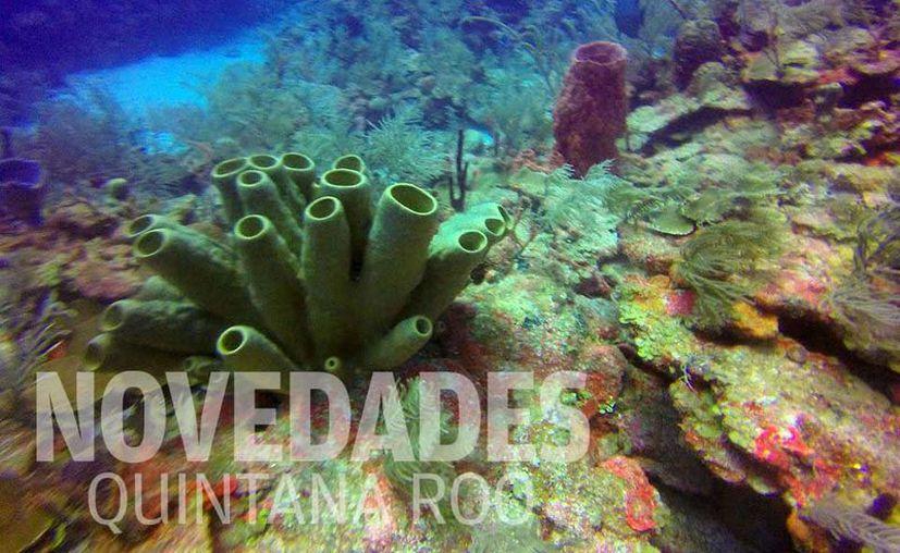 El programa de restauración de arrecifes de coral tiene seis lotes de producción. (Foto: Joel Zamora)
