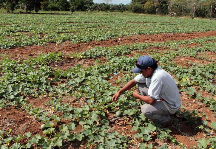 La Dgeta indicó que los planes de investigación están enfocados al desarrollo de la agricultura, cultivo en invernaderos a cielo abierto, entre otros puntos de investigación. (SIPSE)
