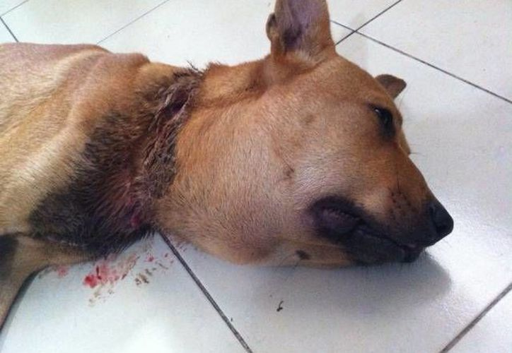 Estaba la mascota en pésimas condiciones cuando fue rescatada. (Cortesía/SIPSE)