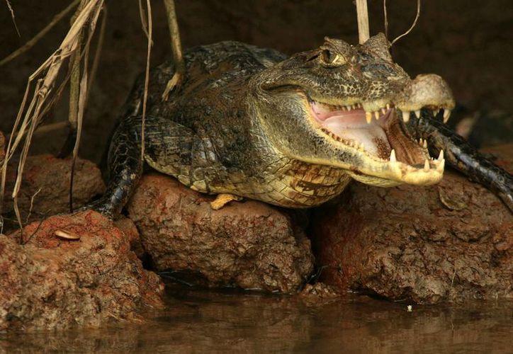 Sus estudios muestran que el 80 % de los caimanes que sobrevive en la región es macho. (EFE)
