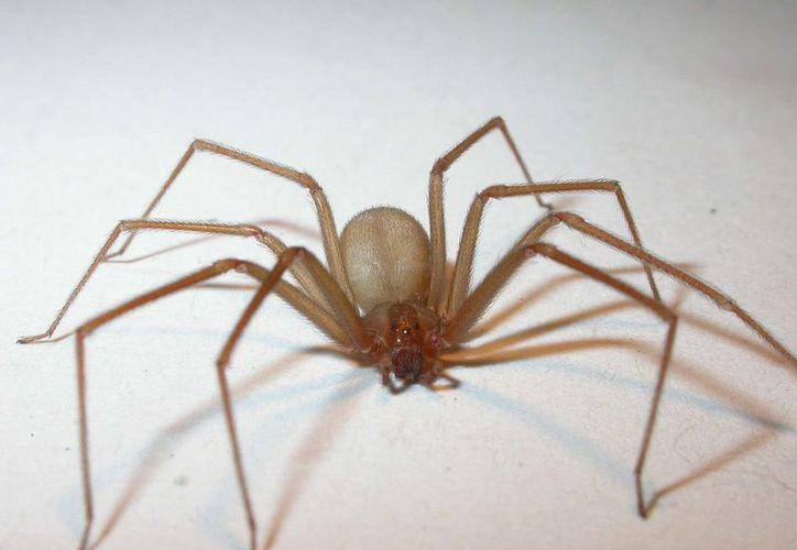 Por su peligrosidad, la especie de araña violinista continuará siendo analizada. (Foto: Explora)