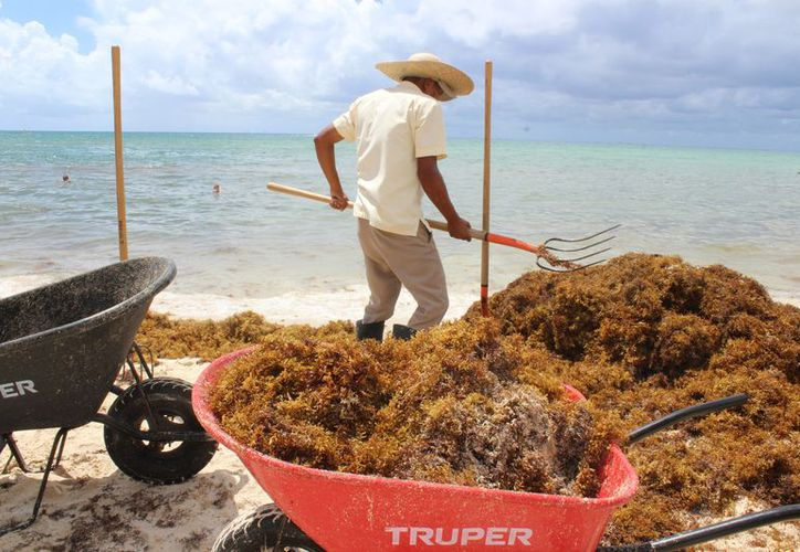El proyecto inicial contemplaba la recolección del sargazo una vez éste estuviera en la playa para trasladarlo a un espacio para secarlo. (Foto: Adrián Barreto/SIPSE).
