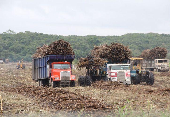 Los cañeros recorren las plantaciones para conocer el grado de afectación. (Carlos Castillo/SIPSE)