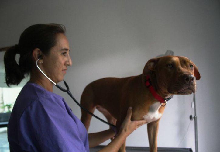 A partir del domingo abrirá en Playa del Carmen una clínica veterinaria dedicada al combate del gusano del corazón. (Octavio Martínez/SIPSE)