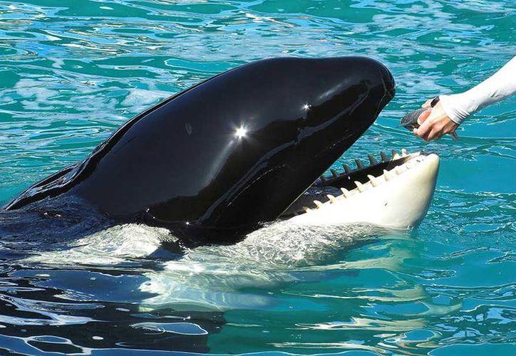 """Una orca adiestrada en un parque marino de Francia reproduce palabras como """"hola"""" y """"adiós"""". (AP)"""
