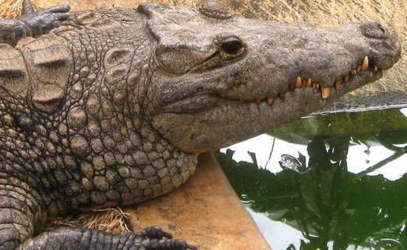En México se producen 3 mil pieles de cocodrilo, cuya venta beneficia a 2 mil 500 personas directamente. (Javier Ortiz/SIPSE)