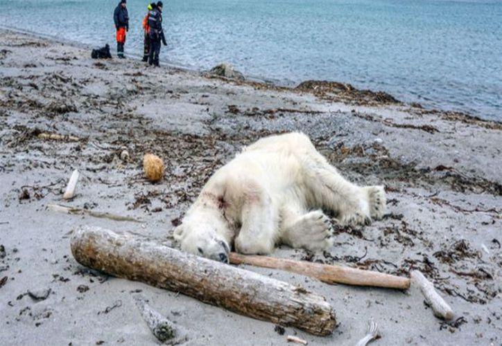 Prácticamente el único rival del oso polar es la raza humana. (Excélsior.com)