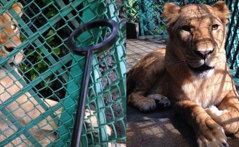 En México el tráfico ilegal de fauna silvestre en peligro de extinción desbancó al de armas. Imagen de una leona africana asegurada por la Profepa en la delegación Miguel Hidalgo hace unos días. (Tomada de @PROFEPA_Mx)