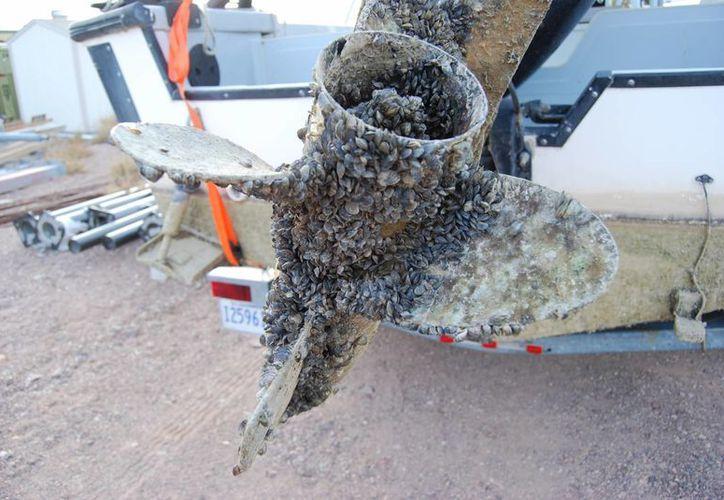 Imagen de una hélice con conchuela donde viven organismos que seguramente vienen de aguas de otros continentes. (Internet)