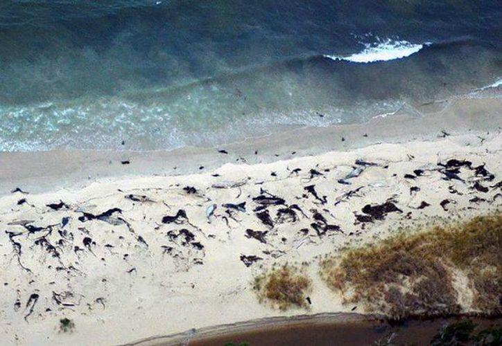 Expertos de la autoridad ambiental chilena ya toma muestras para indagar la causa de la muerte de los cetáceos. (nacion.com)