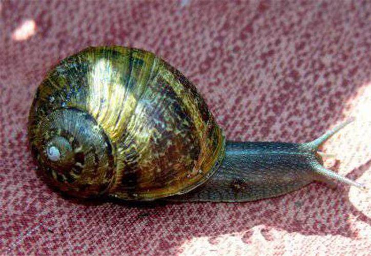La alimentación del molusco se basa en chaya, espinaca y alimento balanceado. (Harold Alcocer/SIPSE)