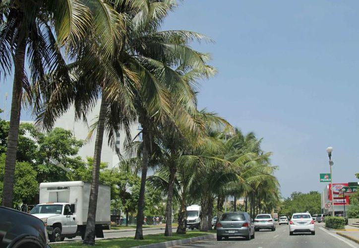 Las palmeras se plantarán en la costa, tanto para dar buena imagen, como para formar barreras naturales contra la erosión. (Redacción/SIPSE)