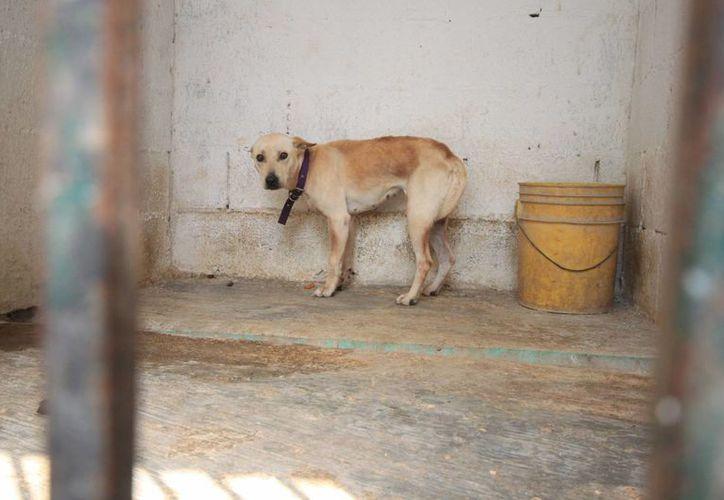 Organizaciones de protección animal advierten que maltrato implica también mantener atadas o encerradas todo el día a las mascotas. (Ángel Castilla/SIPSE)