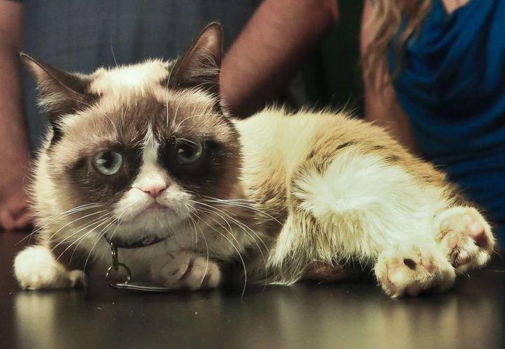 Tardar Sauce, como se llama Grumpy Cat, tiene su propio agente y sus videos en YouTube han sido vistos millones de veces, hay camisetas, calendarios y un libro traducido a 14 idiomas. (Agencias)