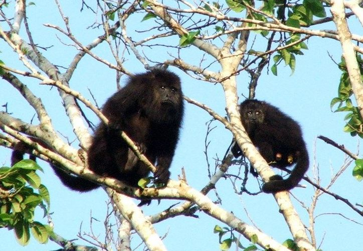 Monos araña y aulladores, así como tigrillos, venados, cocodrilos y aves silvestres, entre otros, habitan en el vasto territorio natural. (SIPSE)