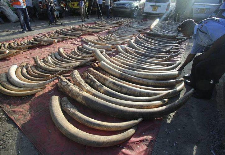 Un policía coloca los colmillos de elefante incautados el miércoles y expuestos el jueves en la ciudad portuaria de Mombasa, Kenia. (EFE)