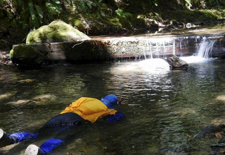 Un buzo del Departamento de Pesca y Vida Silvestre (DFW) de California cuentas peces en un tributario del río South Fork Eel en el Condado Humboldt, California. Algunos ríos y arroyos del norte de California son afectados por las granjas de cultivo de marihuana para fines medicinales. (AP)