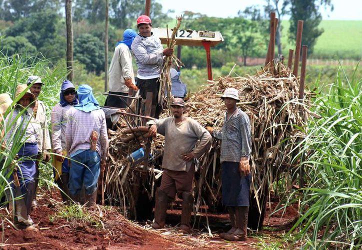 La cosecha de la vara dulce es la principal fuente de ingresos de muchas familias de la ribera del río Hondo. (Carlos Castillo/SIPSE)