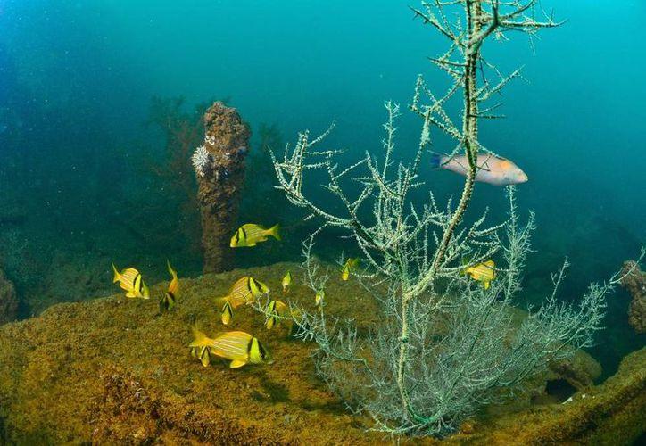 Las zonas con mayor riqueza de especies de corales duros es el Caribe y Golfo de México, donde viven alrededor de 45 a 60 especies. (Notimex)