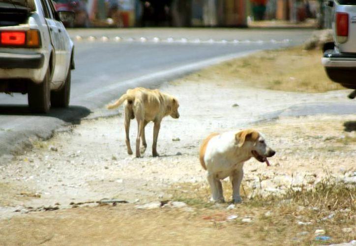 """El brote de rabia detectado en un perro de Progreso """"obligó"""" a las autoridades a hacer una """"cacería"""" de animales callejeros, para sacrificarlos. (Archivo)"""