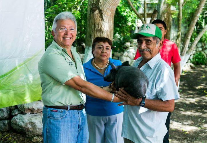 El DIF Yucatán entregó a 15 familias en Peto cerdos pelones, que, a diferencia de los americanos, 'no necesitan vacunas ni medicinas, por lo que su carne es orgánica y de mejor calidad'. (Fotos cortesía del Gobierno estatal)