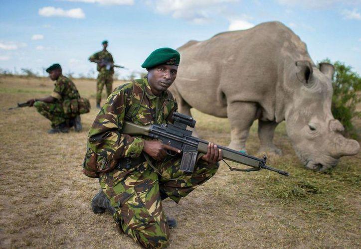 Sudán tiene poco más de 40 años y desde 2009 vive en la reserva ecológica Ol Pejeta Conservancy en Laikipia, Kenia. (Agencias)