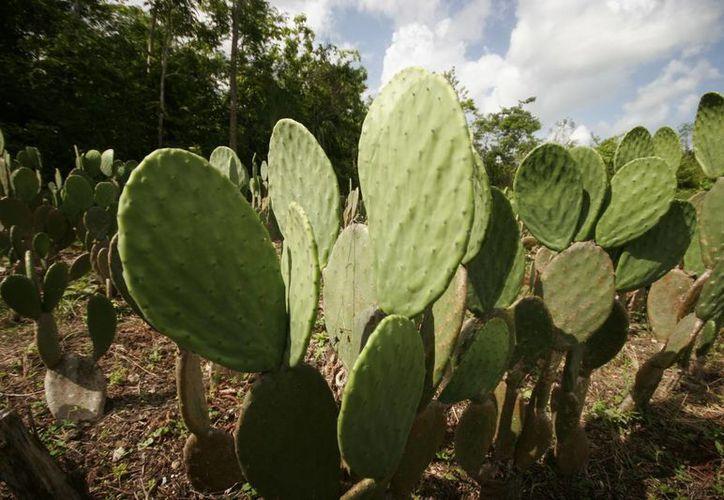 En la siembra de la planta participarán labradores de los municipios de Othón P. Blanco y Bacalar. (Harold Alcocer/SIPSE)