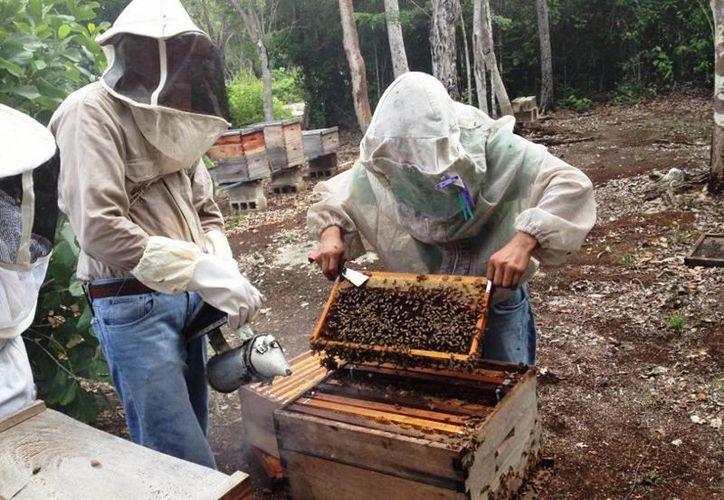 El clima fresco no ha sido suficiente para congelar la producción de miel pactada para este mes. (Javier Ortiz/SIPSE)