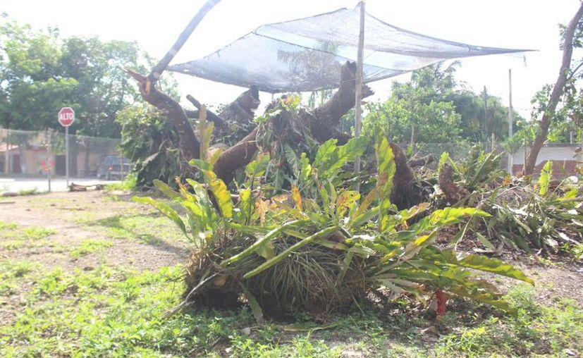 Plantean conservar las ramas y troncos en el lugar donde se encuentran, porque aun tienen más del 50% de orquídeas. (Jesús Caamal/SIPSE)