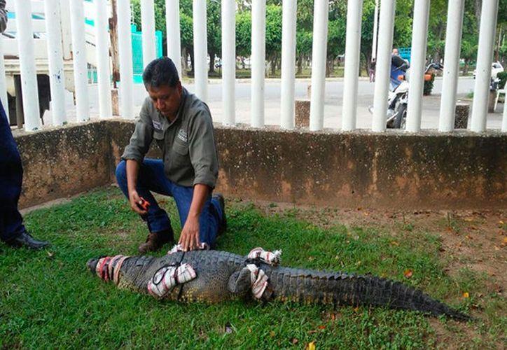 El ejemplar, es un macho de dos metros de largo y presentaba heridas en el cuerpo. (Profepa)