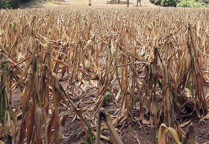 El déficit de lluvias y las altas temperaturas impactan las zonas productivas del Estado. Imagen de un cultivo seco de maíz debido al calor. (Archivo/Notimex)