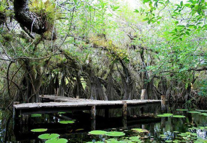 El año pasado lograron apoyar 19 mil 644 hectáreas de selva. (Redacción /SIPSE)