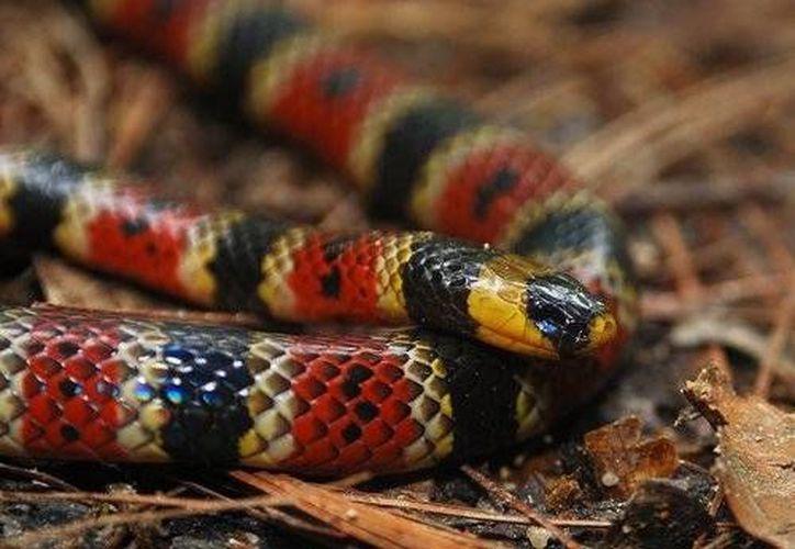 En Quintana Roo hay seis serpientes que pueden ser representar un peligro para los humanos. (Cortesía/Roberto Rojo)