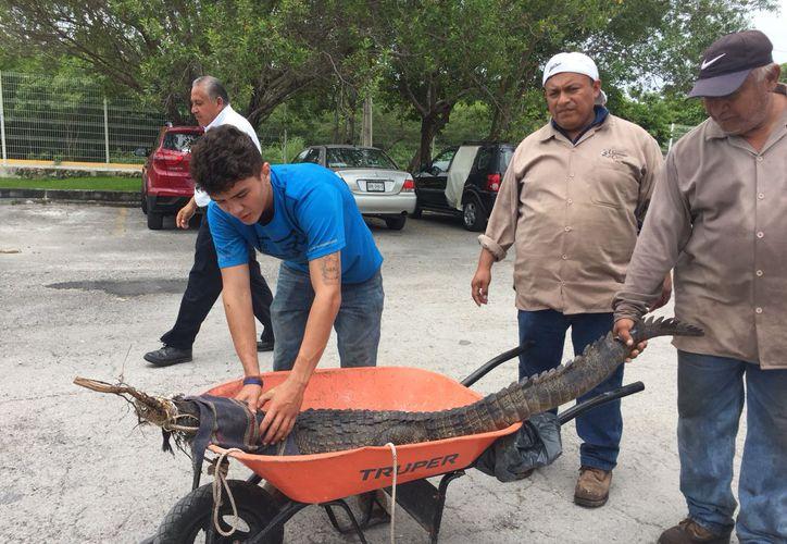Entre tres empleados lo capturaron e inmovilizaron para poder subirlo a una carretilla. (Redacción/SIPSE)