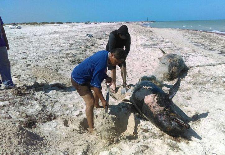Los cadáveres de dos delfines hallados muertos el sábado en el puerto de Chuburná, fueron enterrados el domingo en el mismo lugar. Más adelante se realizarán las exhumaciones y necropsias. (Fotos: Gerardo Keb/SIPSE)
