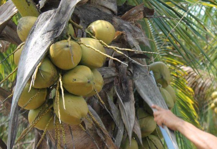 Ya ha causado afectaciones en aproximadamente el 40% de las plantaciones. (Edgardo Rodríguez/SIPSE)