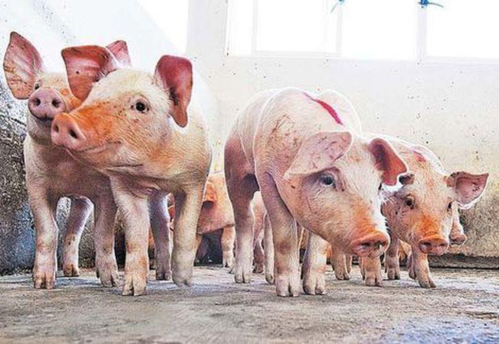 Los cerdos jóvenes infectados experimentan diarrea aguda y vómitos.  (Milenio)