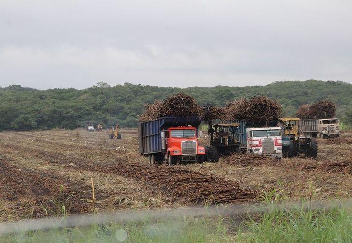 En Quintana Roo el cultivo de caña es muy rentable hoy en día. (Carlos Castillo)