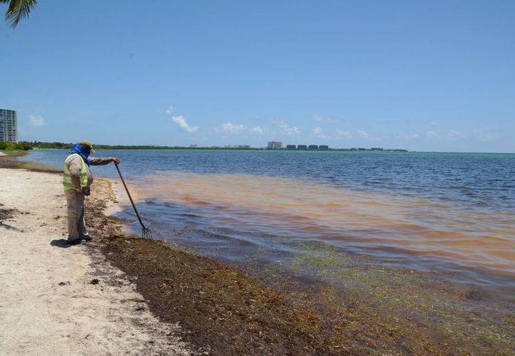 Cuando las algas entran en descomposición sueltan un olor fétido y el agua adquiere una tonalidad café oscuro por los químicos. (Victoria González/SIPSE)