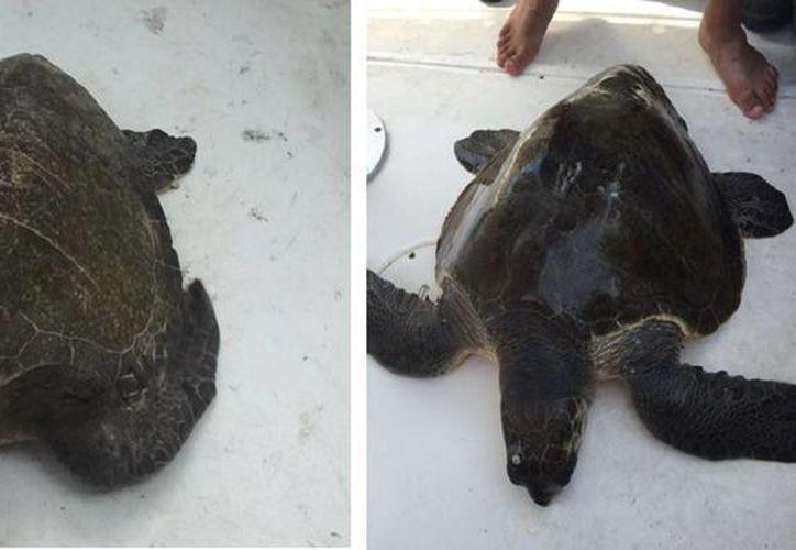 Las autoridades ambientales descartan acción humana en la muerte de 84 tortugas en Jalisco, dado que en análisis se detectó ingesta de toxinas marinas. (Profepa)